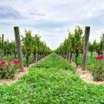 Google Vineyard Tours - Martha Clara Vineyard