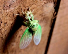 Cicada Molting - Nature Video